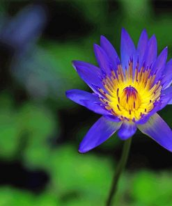 Blue Yellow Lotus Flower Paint by numbers