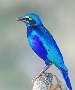 Greater Blue Eared Glossy Starling adult paint by numbers