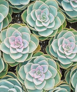 Beautiful Succulents paint by number
